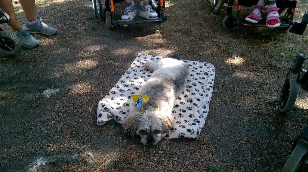 Therapie-Hunde-Einsatz, Havaneser-Hündin Bella im Vordergrund, RollstuhlfahrerInnen im Hintergrund