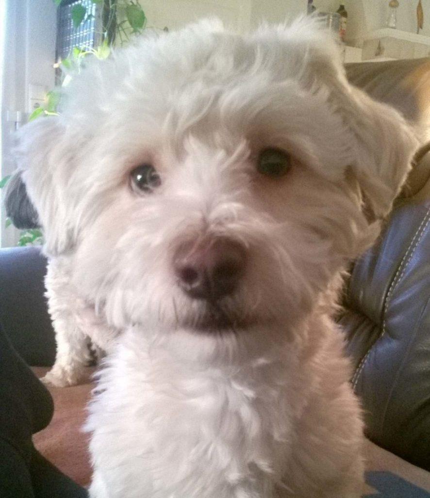 Nahaufnahme Havaneser-Hund Otto